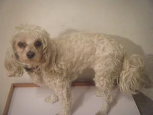 My dog Angel before she is groomed.
